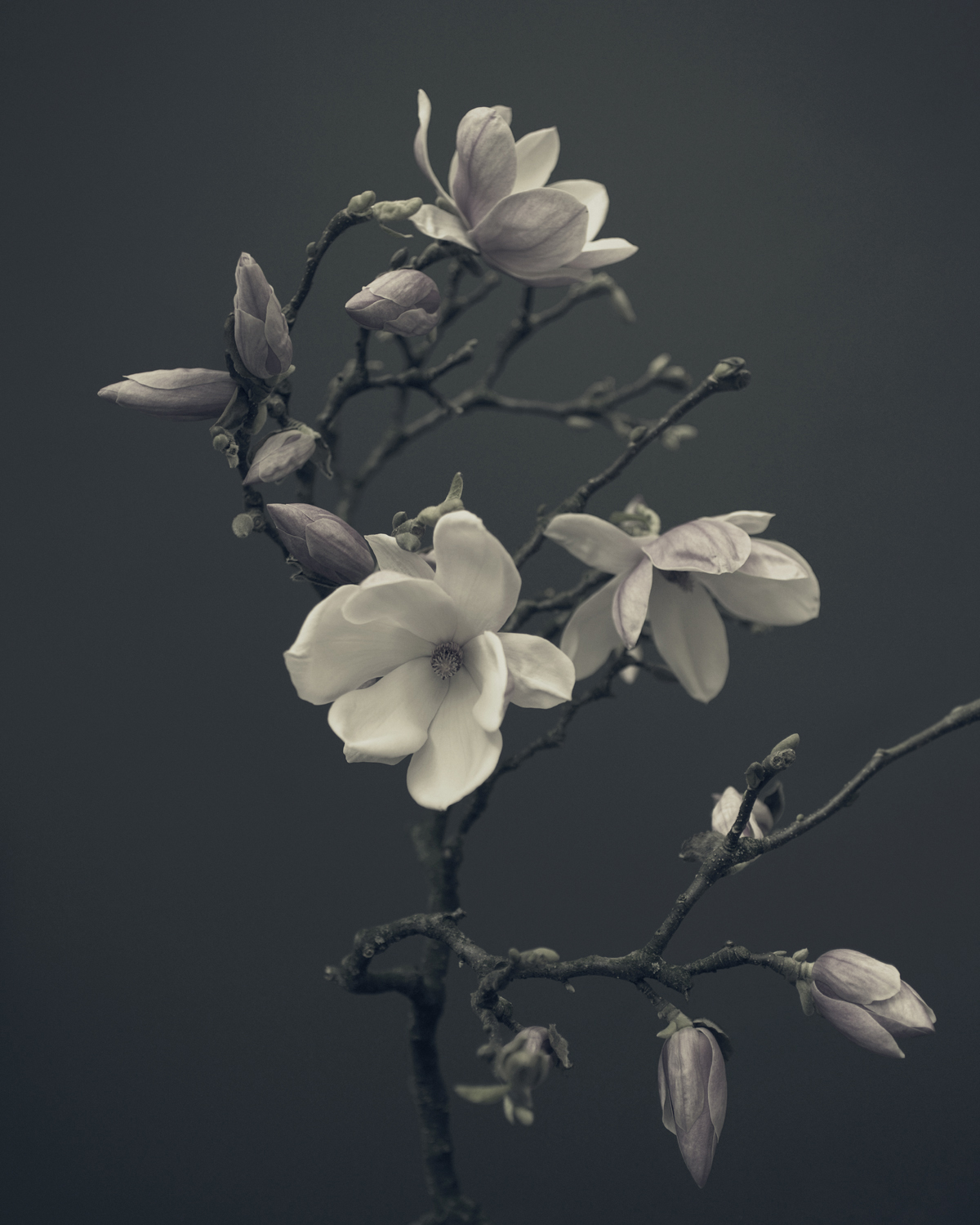 Magnolia No1 artwork by Pete Hollow - art listed for sale on Artplode